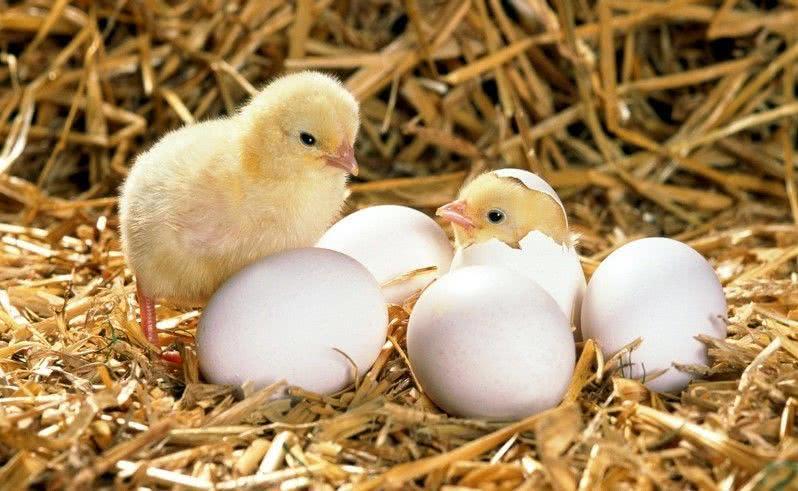 лучший корм для цыплят