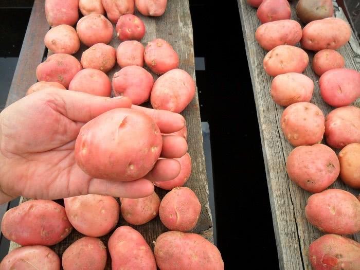 Как правильно выбрать молодой картофель? Этой хитрости меня научил один продавец!