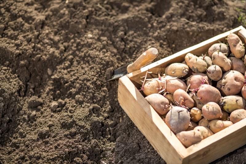 Крепкие и моложавые гражданки 20 лет как перестали жарить, варить и печь картофель